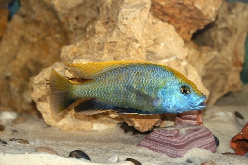 Venustus Cichlid