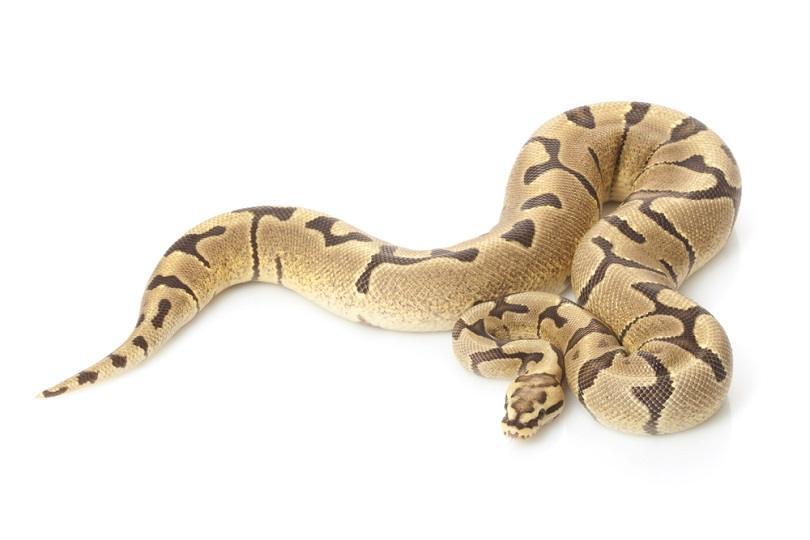 Woma fire ball python_fivespots_shutterstock