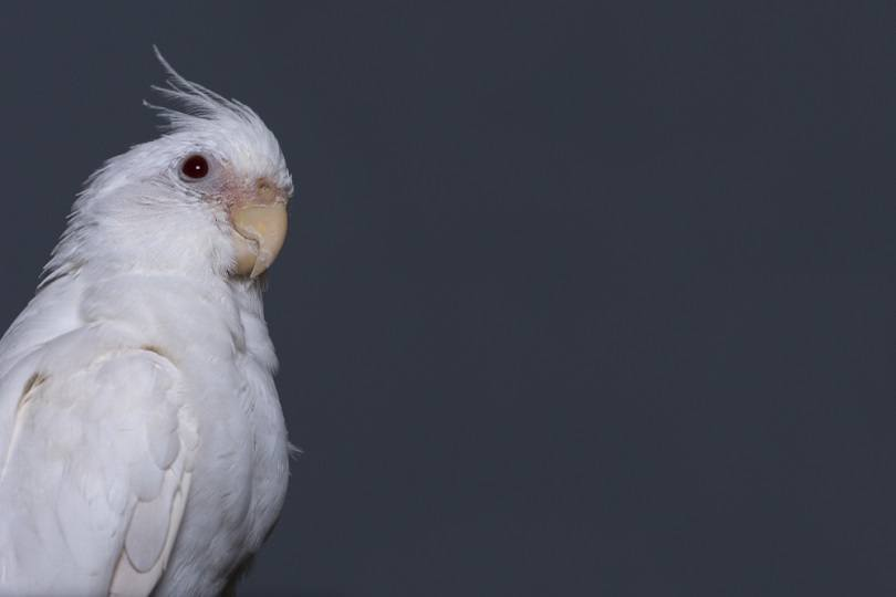 albino cockatiel perching on a wooden pole_Gary_Ellis_Photography_shutterstock