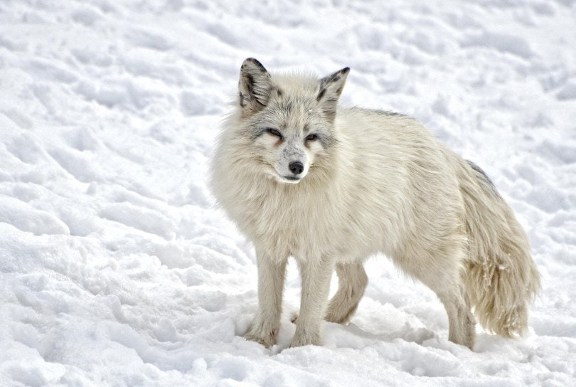 artic fox in the snow