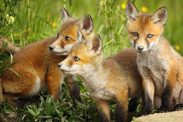 cute young foxes