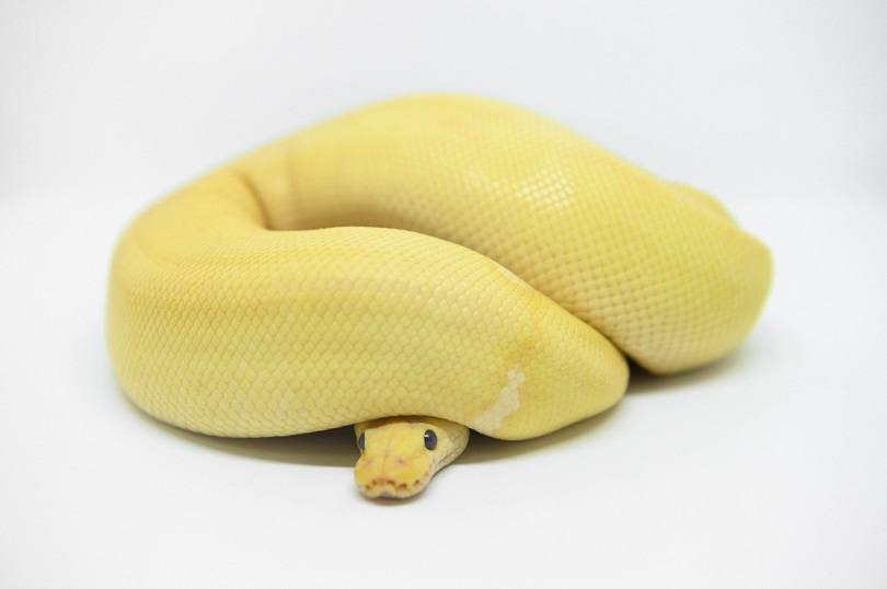 ball python Coral glow Champagne morph_Miiko_shutterstock