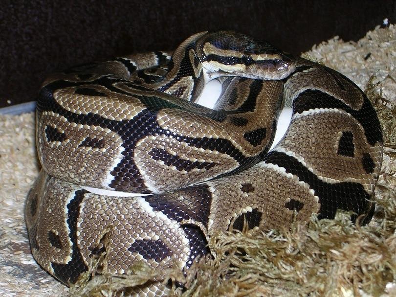 ball-python-pixaabay