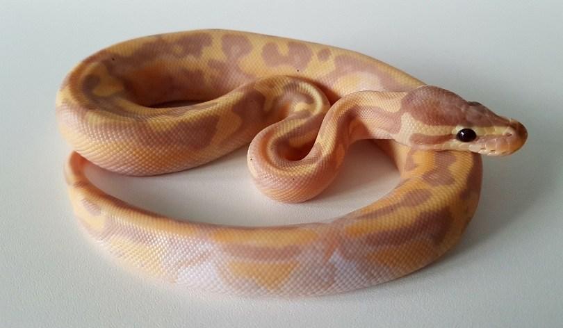 banana pied royal python hatchling snake_Deb Davis_shutterstock