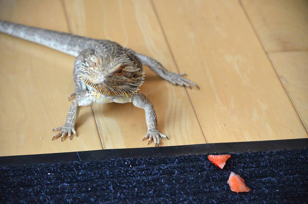 bearded dragon and sliced strawberries