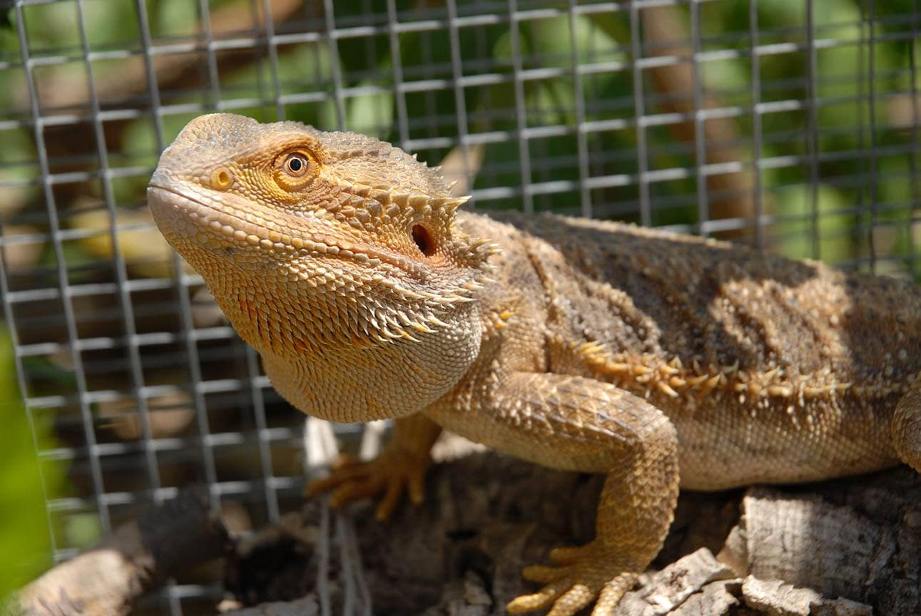 bearded dragon inside the cage