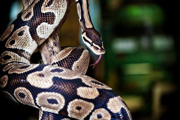beautiful ball python