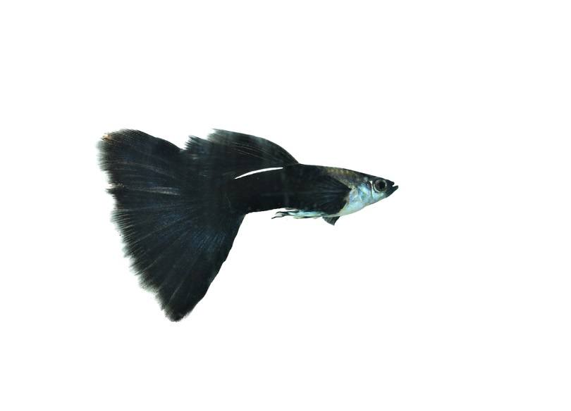 beautiful guppy Half black tail_Arunee Rodloy_shutterstock