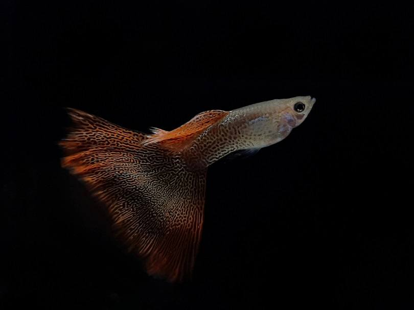big tail red lace guppy fish_Atip Lekhaphan_shutterstock