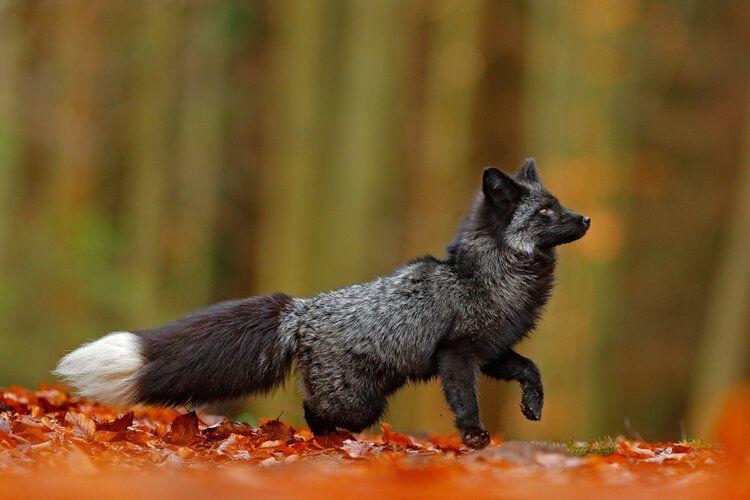 rare black silver fox