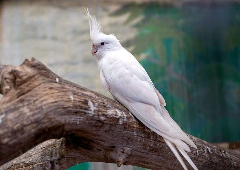 blue White cockatiel_ONGUSHI_shutterstock