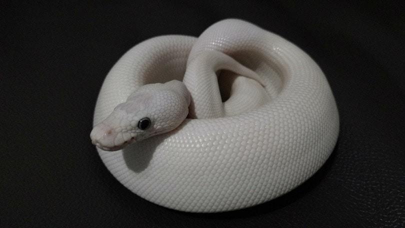 blue eye lucy morph is Ball python_Akekanick Pansang_shutterstock
