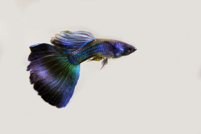 blue moscow guppy_Mircea Costina_shutterstock