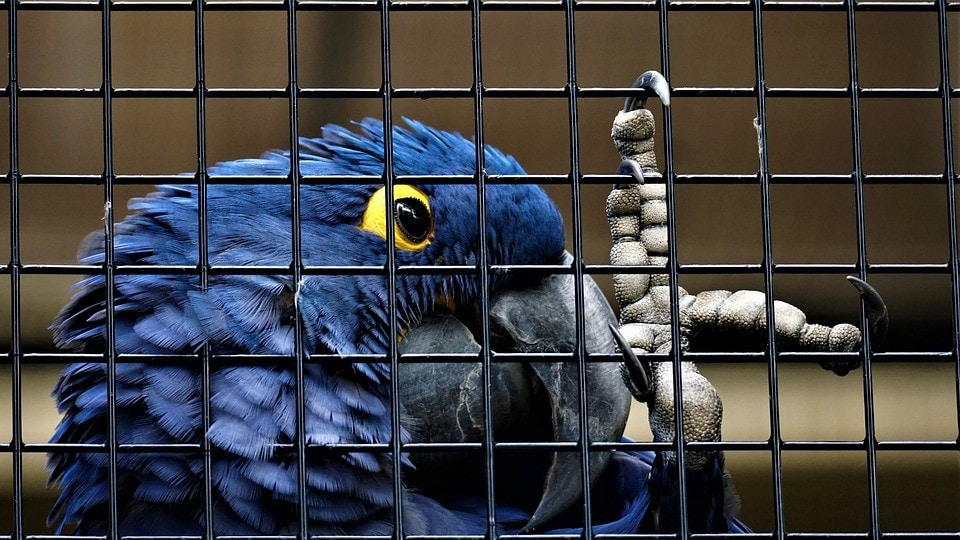 blue parrot inside the cage