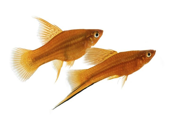 brown platy_Horvath82_shutterstock
