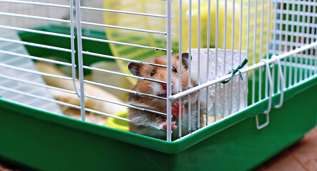 brown syrian hamster inside a cage