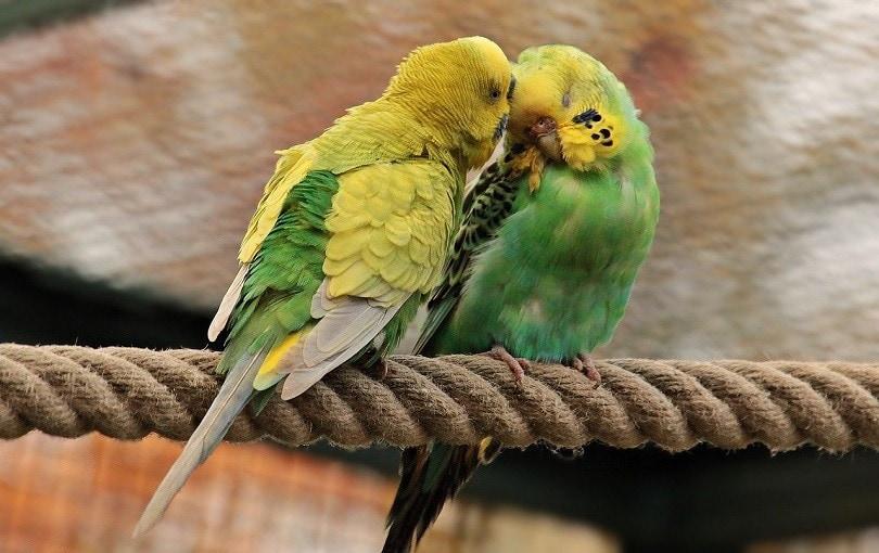 budgerigars-pixabay