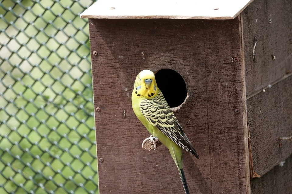 budgie inside a cage