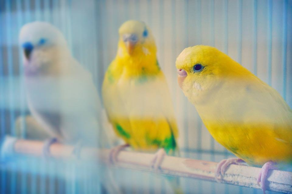 budgies inside a cage