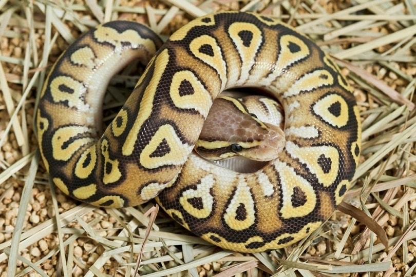 butter ball python_bluedog studio_shutterstock
