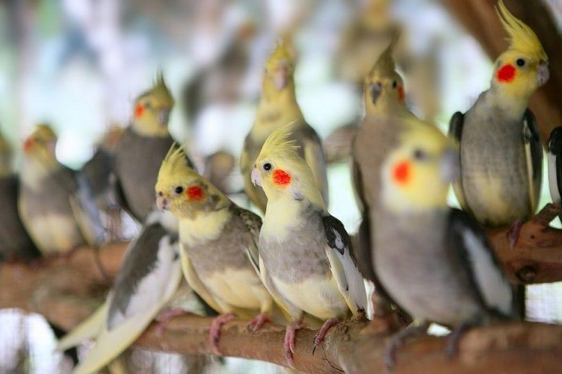 calopsitta Nymphicus hollandicus little parrot_lunamarina_shutterstock