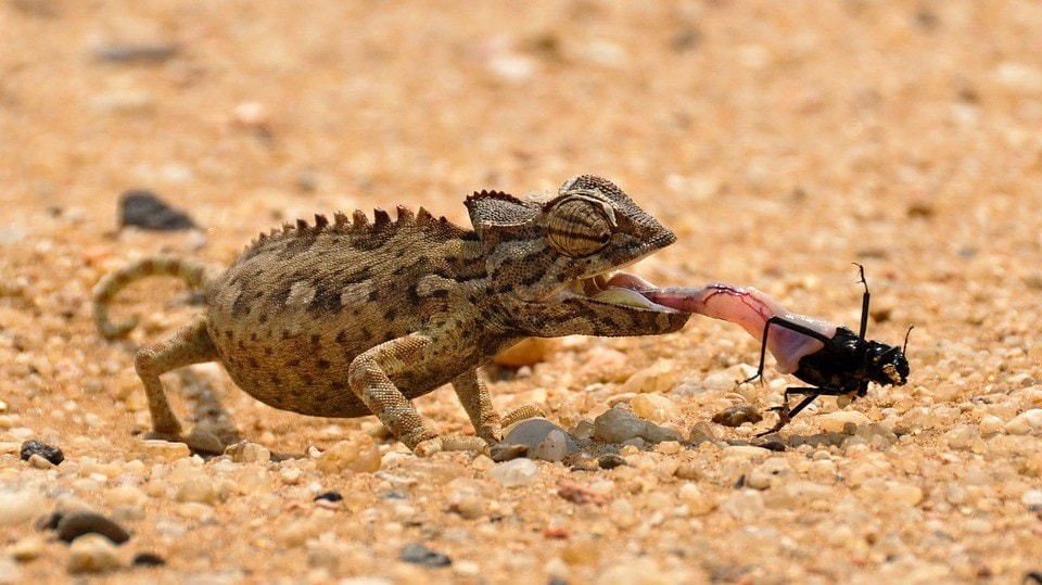 chameleon eating insect