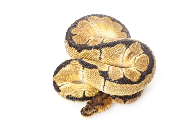 clown ball python_fivespots_shutterstock