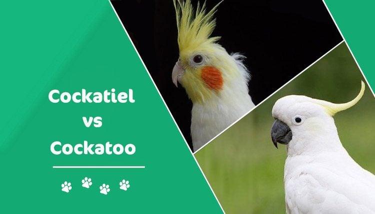 cockatiel vs cockatoo header