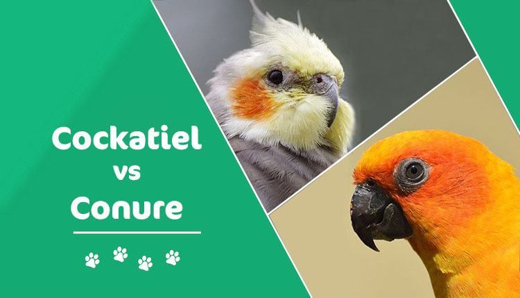 cockatiel vs conure