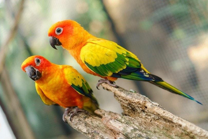colorful sun conure parrot birds_Naypong Studio_shutterstoock