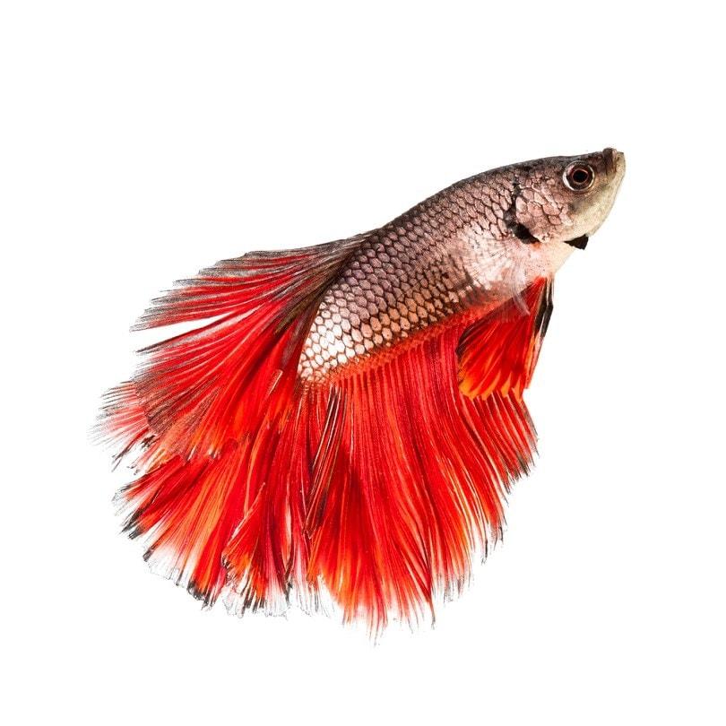 combtail Betta Fish_Song Heming_shutterstock