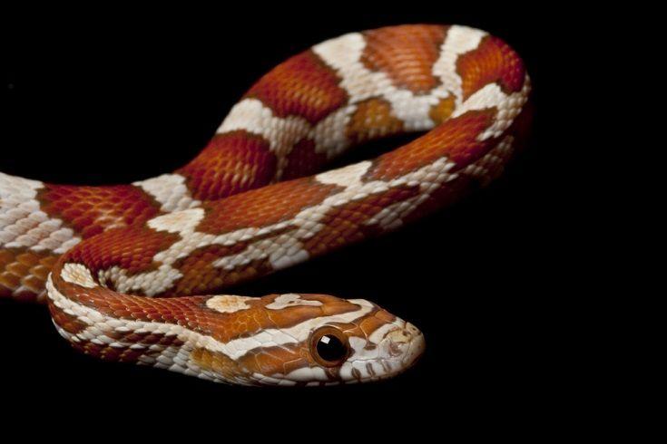 crimson corn snake