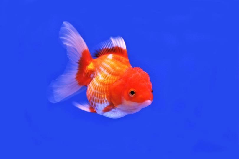 cute red and white goldfish_Arunee Rodloy_shutterstock
