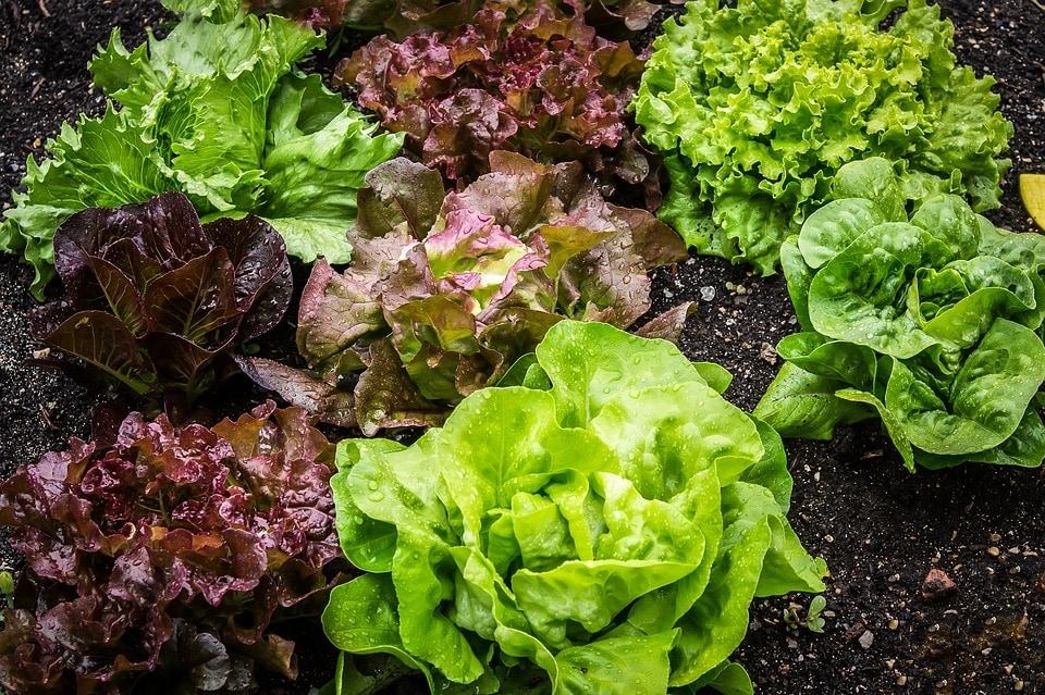 different lettuce plants