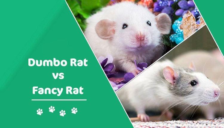 dumbo rat vs fancy rat header
