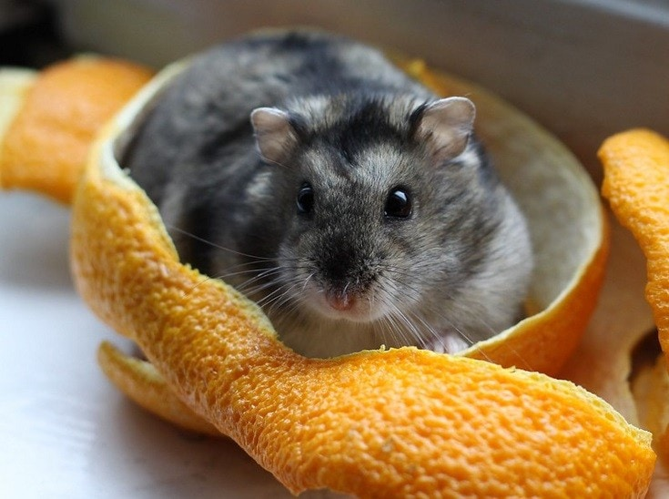 dwarf hamster with ornage