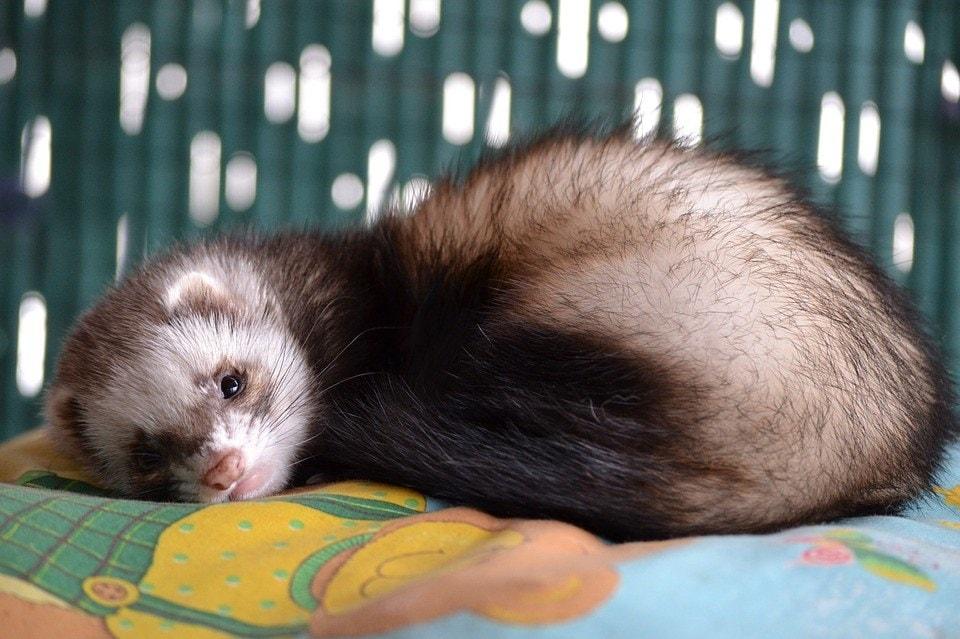 ferret lying down_Pixabay
