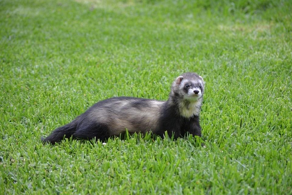 ferret outdoors
