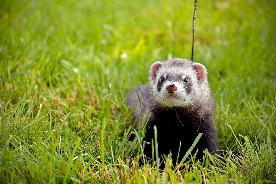 ferret with leash