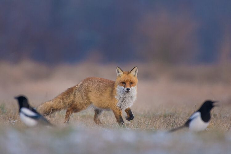 fox hunting bird