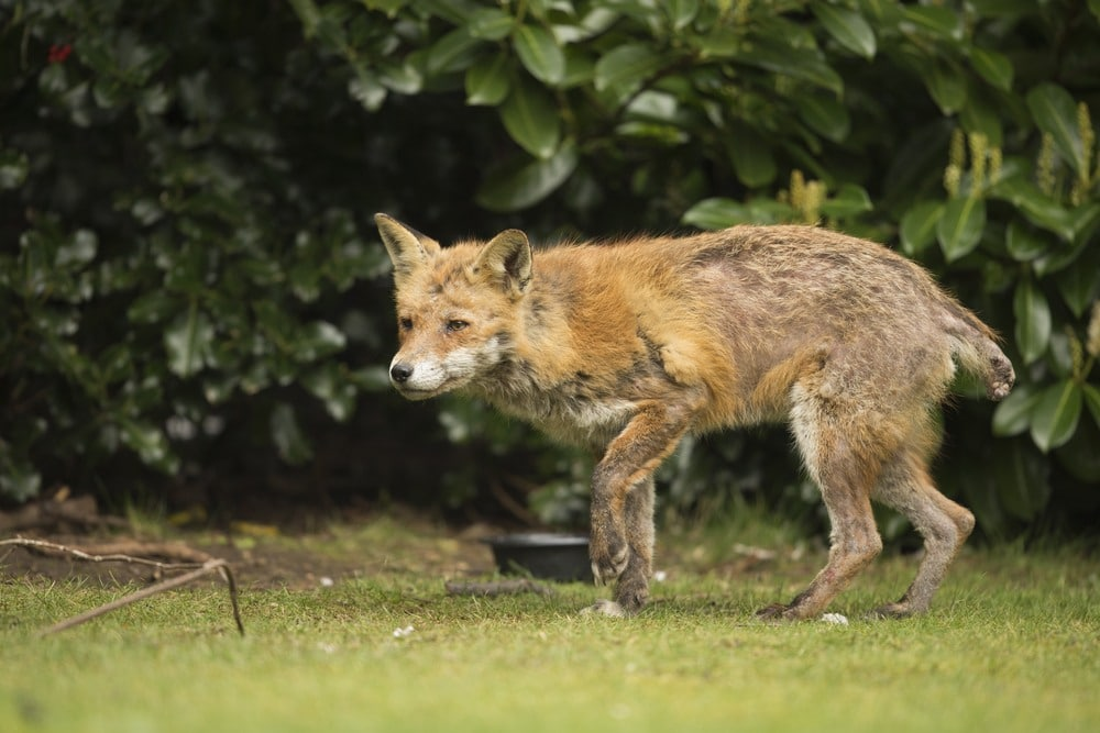 red fox with mange