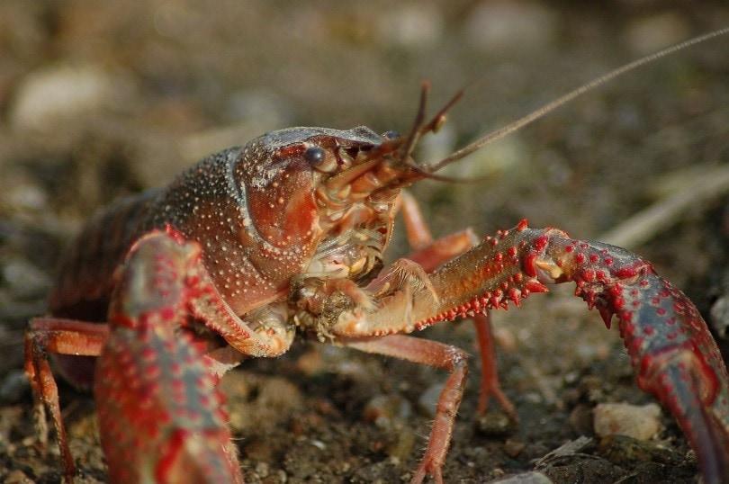 freshwater-crayfish-pixabay2