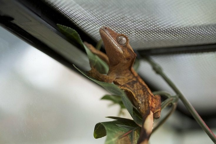 gecko in its cage