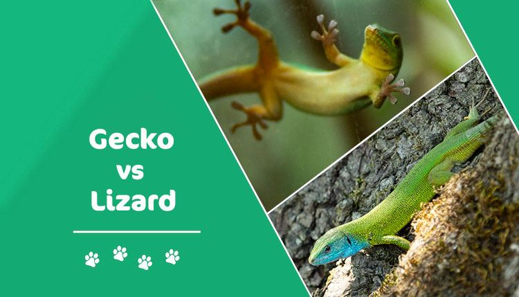 gecko vs lizard