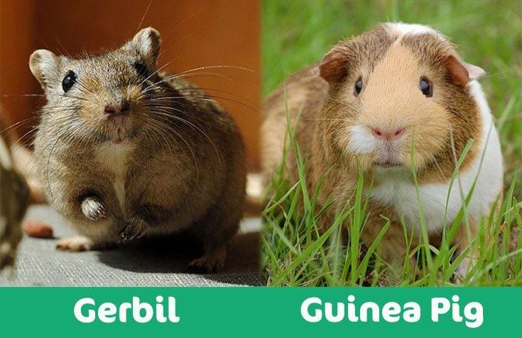 gerbil vs guineapig visual