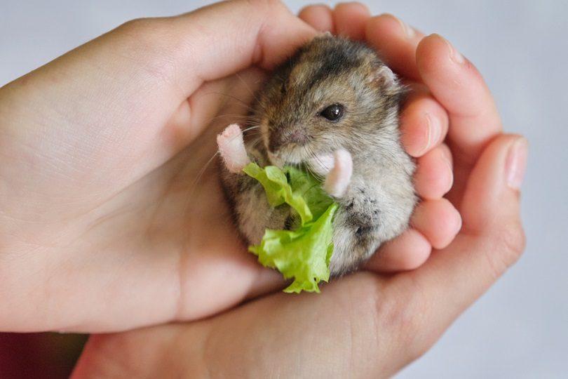 gray Dzungarian hamster eating green leaf of lettuce_VH-studio_shutterstock