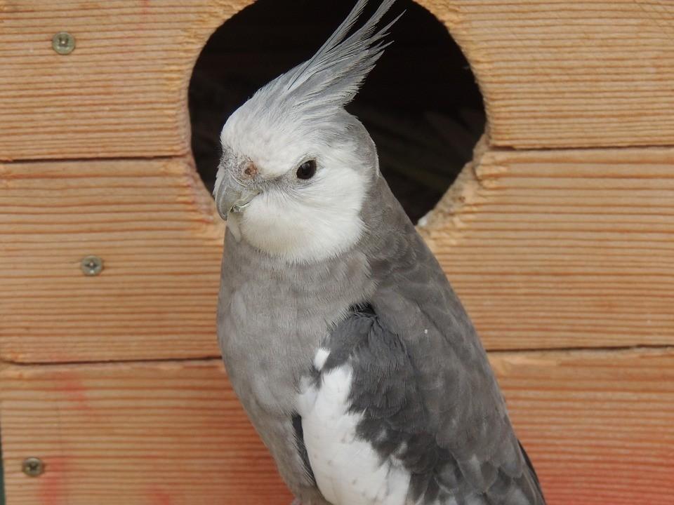 grey cockatiel outside bird house