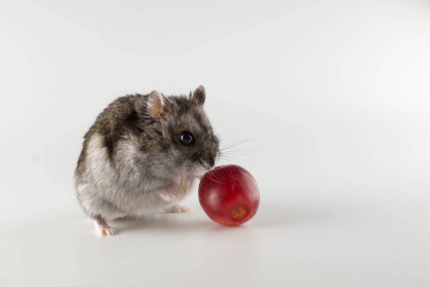 hamster and a piece of grapes