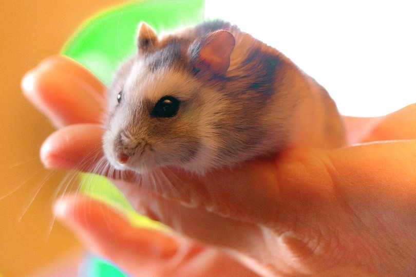 hamster-being-held-pixabay