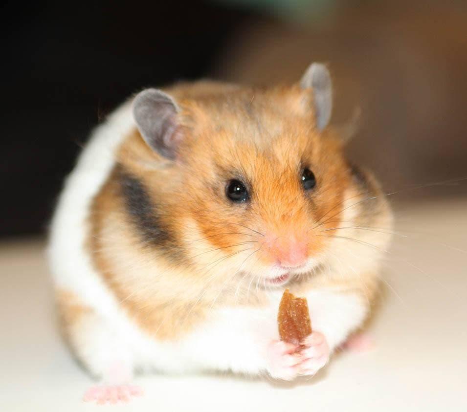 hamster eating a raisin